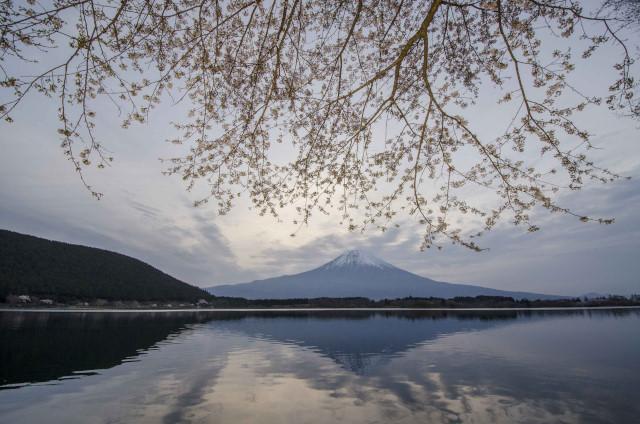 富士桜6_01