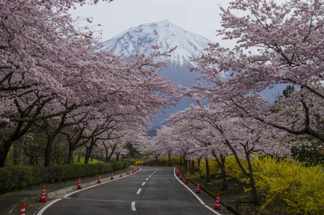 富士桜7_01