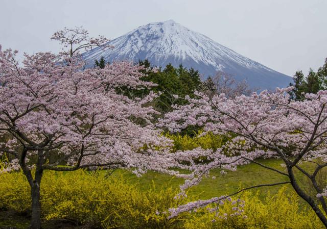 富士桜8_01
