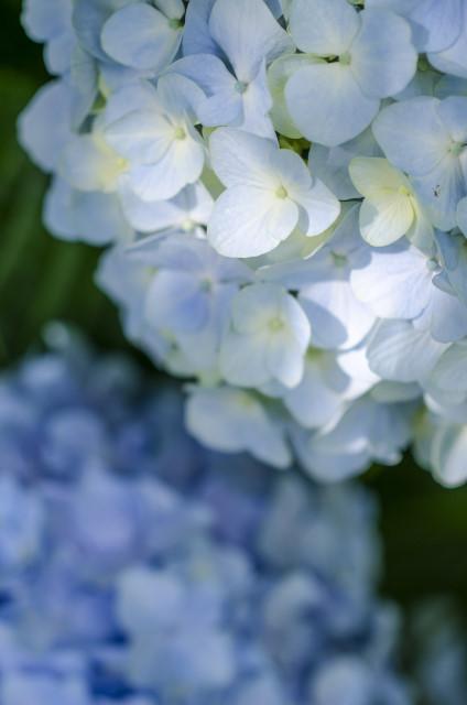 1-紫陽花1_01