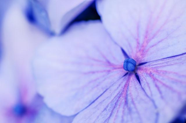4-紫陽花4_01