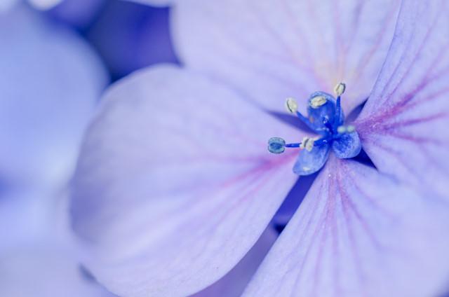 6-紫陽花6_01