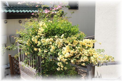 20160423庭の花2