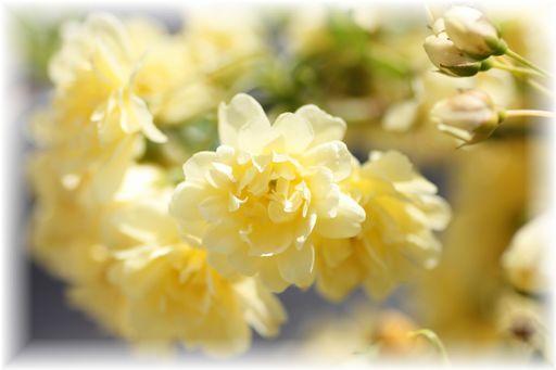 20160423庭の花9