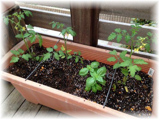 20160507家庭菜園4