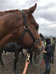 20161004 騙馬でリードホースのレッドシュナイト(レッドファルクスの兄)