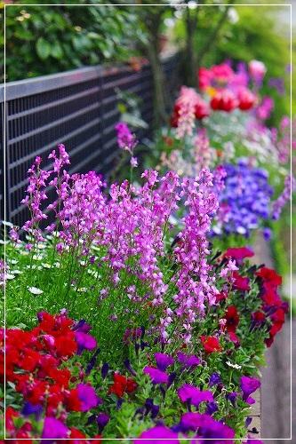 ○○家花壇、満開でーす!