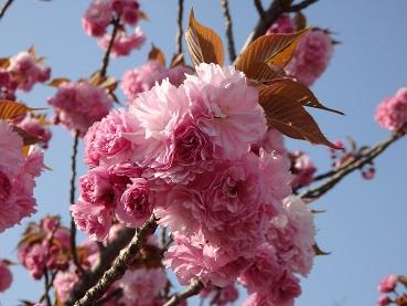 416八重桜