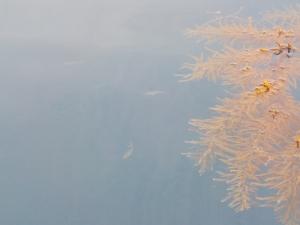 DSCN2102 流れ藻についたモジャコ