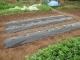 昨日植えた野菜の苗