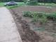 キンギョソウの苗を植えた場所