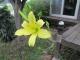 開花したユウスゲ