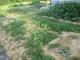 畑の雑草①