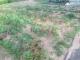 畑の雑草②