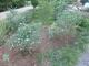 ブルーベリーの木の周りの草取り