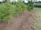 ドウダンツツジ周りの芝草取り