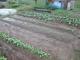野菜の生育