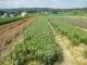センブリ畑