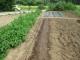 ホウレンソウの種を蒔いた畝