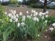 庭の白いジャーマンアイリス