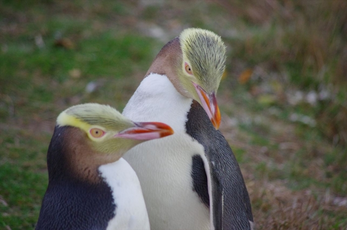 オアマルペンギン (2)