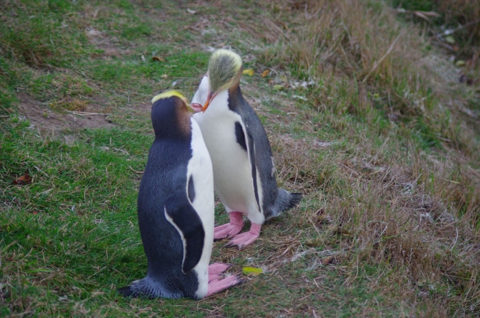 オアマルペンギン (1)