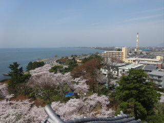 長浜城と豊公園の桜