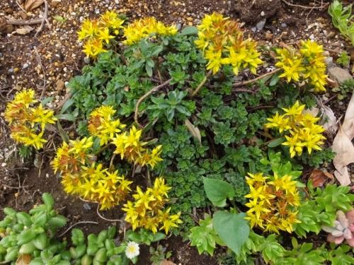 キリンソウ(Phedimus)交配種、ギザギザ葉の目立つ黄色花開花中♪2016.05.10