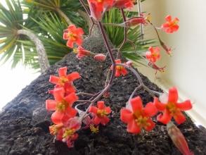 コチレドン・白美人~長い花序でオレンジ花を開花中♪2016.05.15