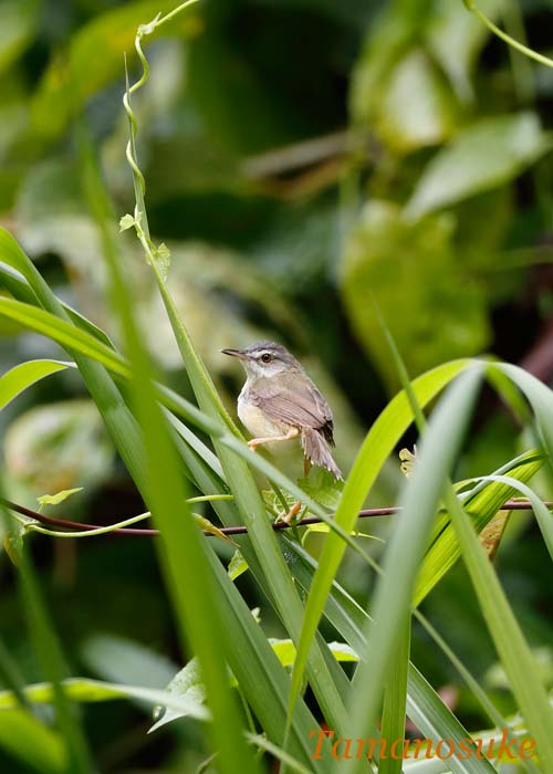 Yellow_bellied_prinia_1.jpg