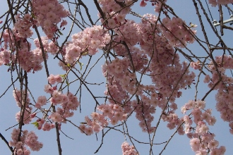 ③八重桜 (330x220)