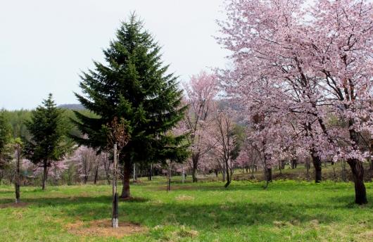 ④一目千本桜 (530x344)