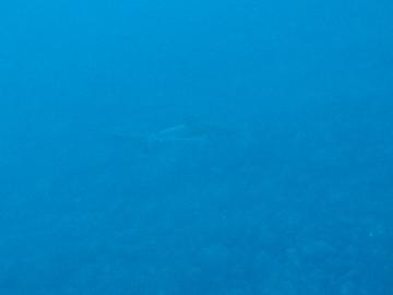 500DIVEメジロザメ