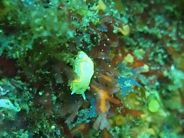 ミツイラメリウミウシ(1)