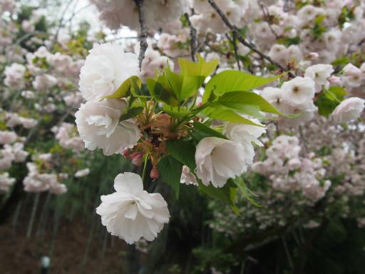 20160417・多聞院4-30・ヤエザクラ