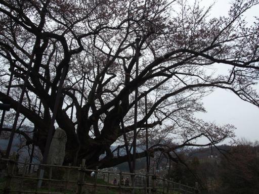 20160410・神代桜2