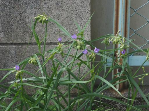 20160521・早朝散歩植物09・ムラサキツユクサ
