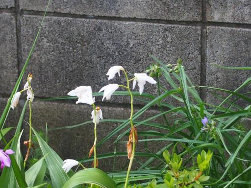 20160521・早朝散歩植物10・シラン(白)