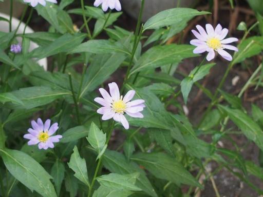 20160521・早朝散歩植物11・ミヤコワスレ