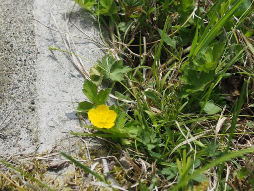 20160529・群馬ツツジ旅5-22・そして黄色い花は?