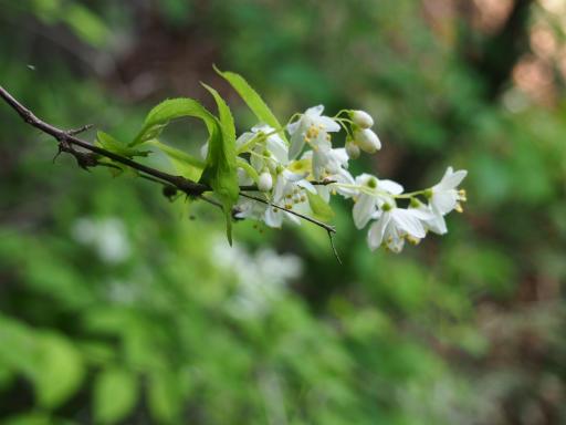 20160529・群馬ツツジ旅植物09・ウツギ