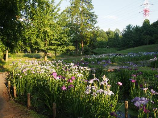 20160605・智光山公園2-13・九頭龍池の花菖蒲