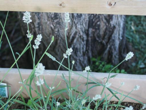 20160605・智光山公園植物04・ラベンダー・スーパー