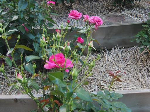 20160605・智光山公園植物11・バラ・マヌウメイアン