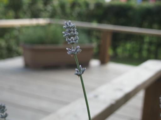 20160605・智光山公園植物07・ラベンダー・コンパクタ
