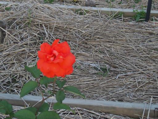 20160605・智光山公園植物17・バラ・ラスベガス