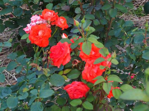 20160605・智光山公園植物15・バラ・ローラ