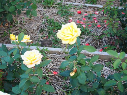 20160605・智光山公園植物13・バラ・ゴールデンハート