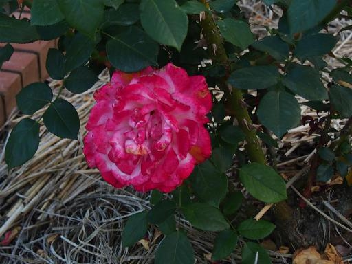 20160605・智光山公園植物23・バラ・聖火