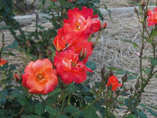 20160605・智光山公園植物21・バラ・プリンセスミチコ